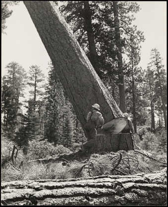two fallers falling trees, different views of similar subject., .1 same image as 1994.20 &...