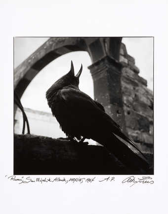 An image of a raven seated on a wall with its beak open and pointing upward.